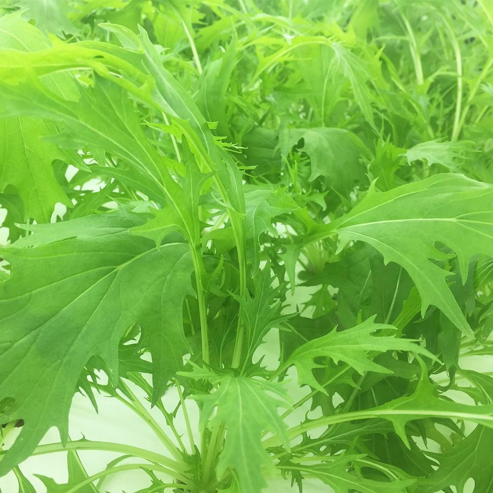 綠京都水菜