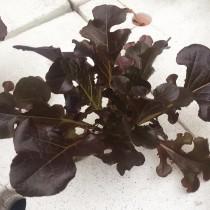 紫橡木萵苣